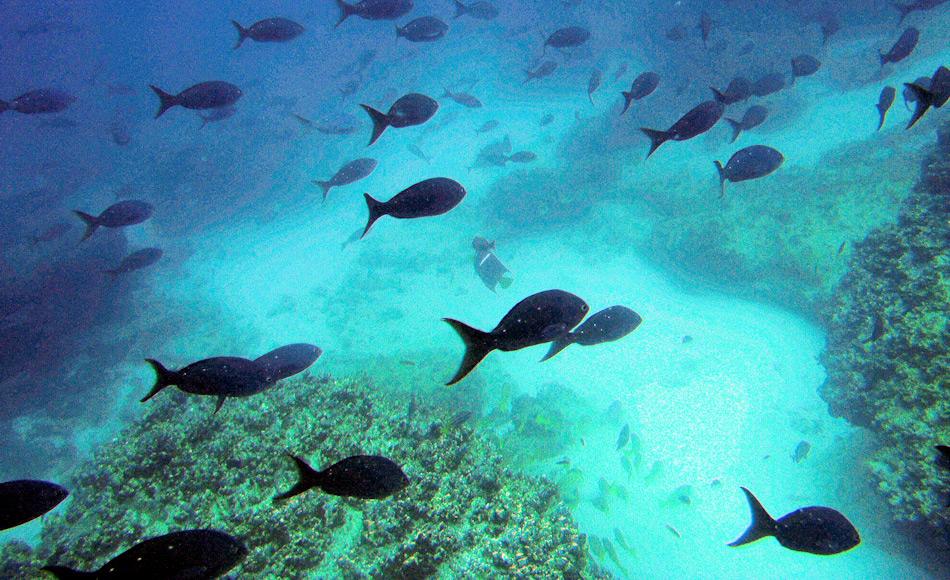 Die tropischen Korallenriffe beherbergen eine Vielzahl von Lebensräumen. Dies wiederum bildet die Möglichkeit einer hohen Artenzahl. Doch gemäss der neuen Studie sind die polaren Regionen noch schneller bei der Artbildung. Bild: Michael Wenger