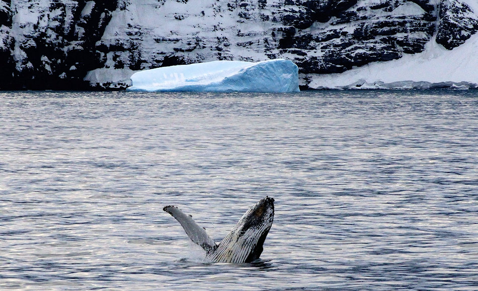 Buckelwale sind eine der wenigen Walarten, die ein grosses Verhaltensspektrum zeigen. Das markante Springen der gewaltigen Tiere ist bisher nur theoretisch erklärt worden, Beweise fehlen. Bild: Michael Wenger