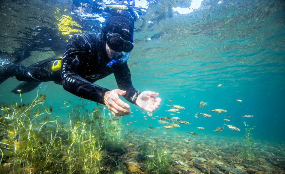 Stichlinge sind eher kleine und schnelle Fische, die sehr schwer von Hand zu fangen sind. Für die Studie wurden die Tiere mit Netzen gefangen, die eigentlich für eine andere Studie über Rotlachse verwendet worden waren. Bild: Jason Ching
