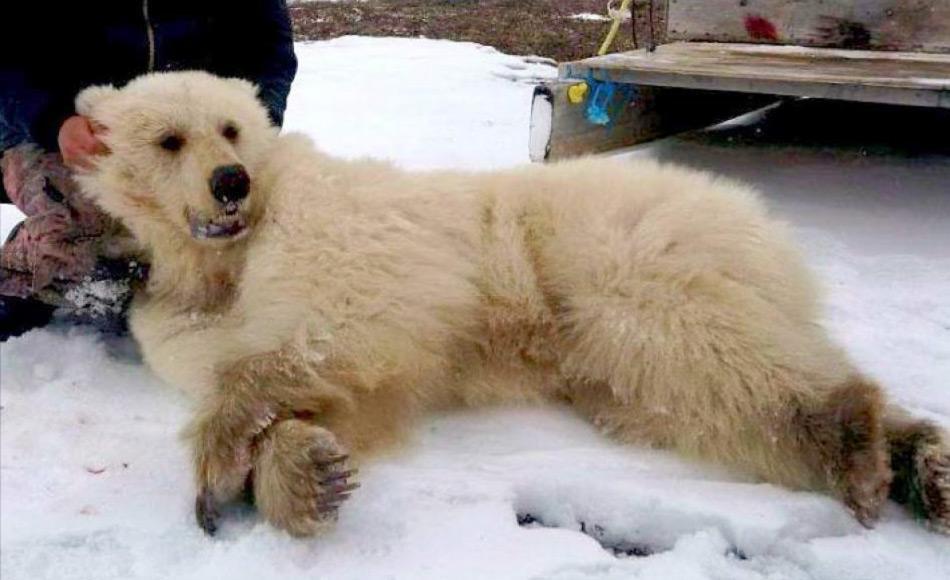 Kanadische Inuit haben das Recht, Eisbären als Teil ihrer Tradition zu jagen. Es existieren Quoten dafür. Sie nutzen das Fell, das Fleisch und sogar Knochen. Doch Eisbärenprodukte sind innerhalb Europas verboten und daher existiert kein Markt hier. Doch Hybriden könnten potentiell mehr Geld bringen, da sie viel seltener sind und nicht als Eisbären gelten.