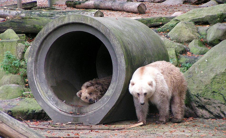 Eisbären und Grizzlies sind nahe miteinander verwandt und bisher kannte man Hybriden nur aus dem Zoo. Diese Hybriden sind entweder Grolarbär (Vater = Grizzlie) oder  Pizzly (Vater = Eisbär). Bild: Corradox (Wikipedia)
