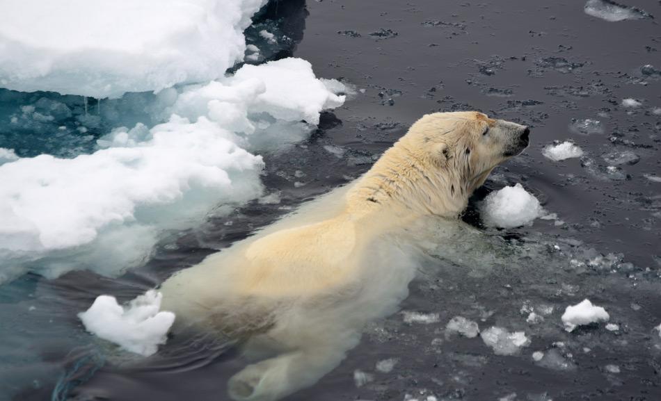 Eisbären sind für ein Leben auf dem Eis gemacht. Hybriden sind wahrscheinlich viel schlechter angepasst und könnten eine geringere Überlebenschance besitzen. Bild: Michael Wenger